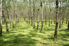 Lifes för den Rubber kolonin, bakgrund för den Rubber kolonin, gummiträd i Thailand gör grön bakgrund Royaltyfri Bild