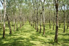 Lifes för den Rubber kolonin, bakgrund för den Rubber kolonin, gummiträd i Thailand gör grön bakgrund Royaltyfri Fotografi
