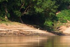 Lifestock na bankach Mekong rzeka w Laos Zdjęcie Stock