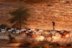 Lifestyle of Burmese in Bagan , Myanmar. Lifestyle of Burmese bring cow and goat walking on road in Bagan , Myanmar Stock Image