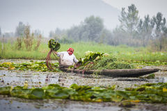 Lifestyle in Dal lake, local people use `Shikara`, a small boat Royalty Free Stock Photo