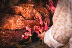 The lifestyle of the farm in the countryside. Fresh eggs from the farm in the countryside royalty free stock images