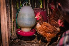 The lifestyle of the farm in the countryside. Fresh eggs from the farm in the countryside stock photos