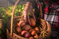The lifestyle of the farm in the countryside. Fresh eggs from the farm in the countryside stock photo