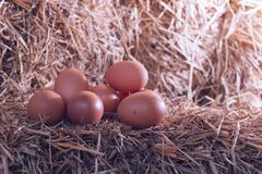 The lifestyle of the farm in the countryside, fresh eggs from th. E farm in the countryside royalty free stock photos