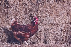 The lifestyle of the farm in the countryside, hens are hatching. Eggs on a pile of straw in rural farms, fresh eggs from the farm in the countryside stock photo