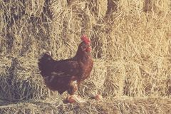 The lifestyle of the farm in the countryside, hens are hatching. Eggs on a pile of straw in rural farms, fresh eggs from the farm in the countryside royalty free stock images