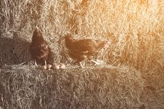 The lifestyle of the farm in the countryside, hens are hatching. Eggs on a pile of straw in rural farms, fresh eggs from the farm in the countryside stock photography