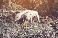 The lifestyle of the farm in the countryside,the little pigs on. Straw in rural farms stock image