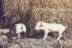 The lifestyle of the farm in the countryside,the little pigs on. Straw in rural farms royalty free stock image