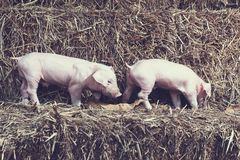 The lifestyle of the farm in the countryside,the little pigs on. Straw in rural farms stock images