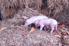 The lifestyle of the farm in the countryside,the little pigs on. Straw in rural farms stock photography