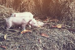 The lifestyle of the farm in the countryside,the little pigs on. Straw in rural farms stock photos