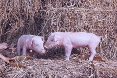The lifestyle of the farm in the countryside,the little pigs on. Straw in rural farms royalty free stock images