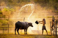 Free Lifestyle Of Asian Concept. Asian People Are Bathing For The Water Buffalo During Songkran`s Summer. The Rice Field Countryside Royalty Free Stock Images - 183071589