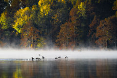 Lift Off. Ducks rising from the lake at sunrise in the fall Royalty Free Stock Images