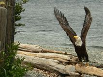 Lift Off. So just how long are an eagle's wing stock photography