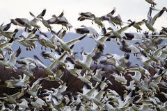 Lift Off Hunderds of Snow Geese Taking Off Flying Royalty Free Stock Photography