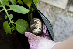 Lifting potatoes stock image