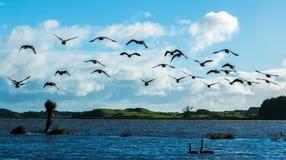 Liftoff Canada Goose.tif Stock Photo
