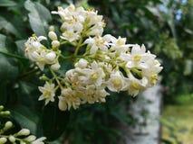 Ligústrum vulgáre 绿色灌木加点与小嫩芽 免版税图库摄影