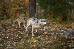 Ligação direita da corrida do lúpus de Grey Wolves Canis com carne foto de stock