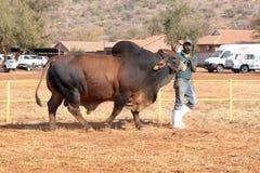 Ligação do touro do brâmane de Brown pela foto do alimentador Fotografia de Stock Royalty Free