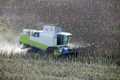 A liga está trabalhando no campo A ceifeira está cortando girassóis secos Foto de Stock