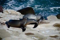 Ligar pares de los leones marinos de California cerca de la ensenada de La Jolla Foto de archivo