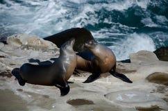 Ligar pares de los leones marinos de California cerca de la ensenada de La Jolla Foto de archivo libre de regalías