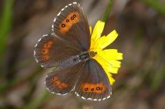 ligea erebia arran коричневое Стоковое Изображение RF