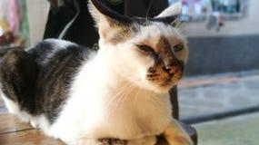 Liger我的猫 免版税库存图片