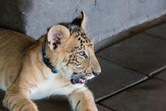Liger (狮子和老虎十字架) 免版税库存图片