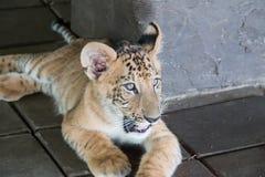 Liger (狮子和老虎十字架) 图库摄影