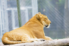 Liger Royalty Free Stock Photography