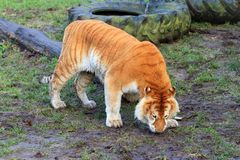 Liger. Beautiful big liger, a hybrid cross between a male lion Panthera leo and a female tiger Panthera tigris Royalty Free Stock Image