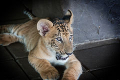 Liger (cross of Lion and Tiger). In the zoo Stock Image