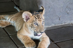 Liger (cross of Lion and Tiger). In the zoo Stock Photography