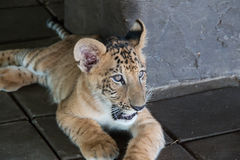 Liger (cross of Lion and Tiger). In the zoo Royalty Free Stock Photo
