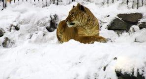 Liger die op de sneeuwrots rust Stock Foto's