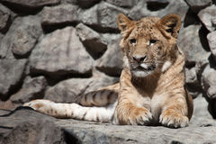 Liger. Hybrid of lion and tiger lying on stones Stock Photography