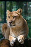 A liger looking aside. A liger is a crossbreed of a tiger and a lion Stock Images