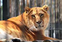 Liger. Portrait of lying wary Liger Royalty Free Stock Photos