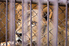 The liger in the steel cage.Thailand. The liger in the steel cage.Thailand Stock Photos