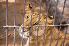 The liger in the steel cage.Thailand. The liger in the steel cage.Thailand Stock Image