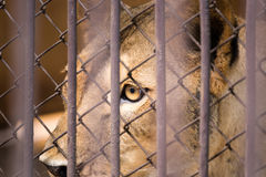 The liger in the steel cage.Thailand. The liger in the steel cage.Thailand Royalty Free Stock Photo