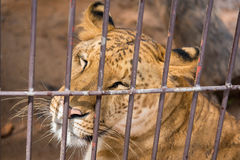 The liger in the steel cage.Thailand. The liger in the steel cage.Thailand Royalty Free Stock Photos