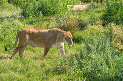 Liger walking. Female liger (lion and tiger hybrid) walking over the green grass Royalty Free Stock Photos