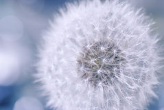 Ligereza y pureza de la flor del diente de león Fotografía de archivo