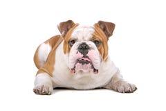 ligga för bulldoggengelska Royaltyfria Foton